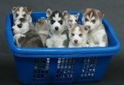 4 чистый дом поднял Сибирский хаски щенки для хороших домах