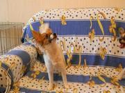 Продаётся породный щенок папийона (девочка).