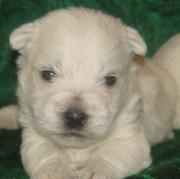 Продается алиментный щенок вест хайленд уайт терьера